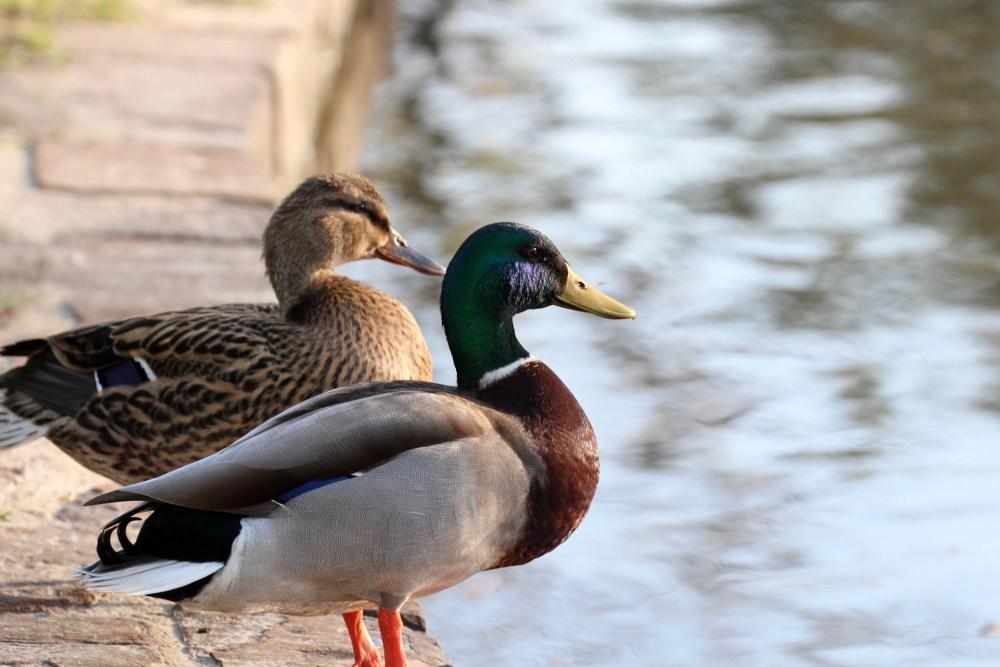ducks_extra-guac