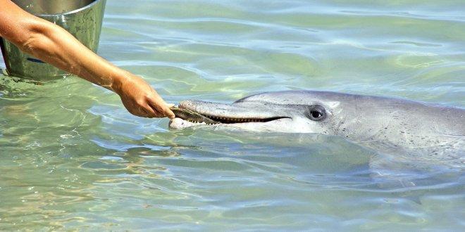 Saaristomeren pullokuonodelfiinien turvaamiseksi suositellaan verkkokalastuksen välttämistä