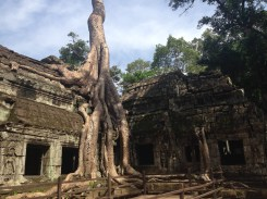 The massive trees taking over the ancient temple.