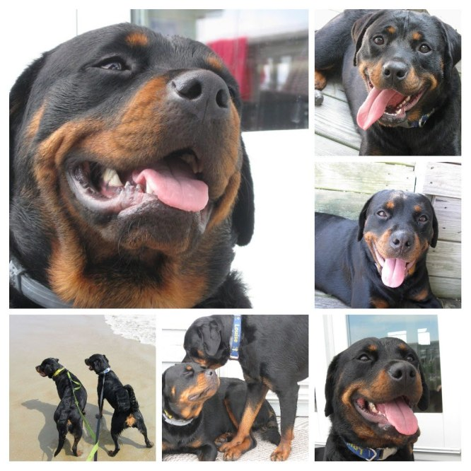 a collage of photographs showing rottweilers on vacation at the beach