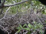 """The legend among mangrovelers is that the record for the 100 yd (or 100 m) dash through a [Rhizophora] mangrove is 22'30""""."""