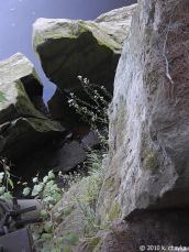 A. lyrata on a cliff face in Minnesota, USA. Photo by Katy Chayka.