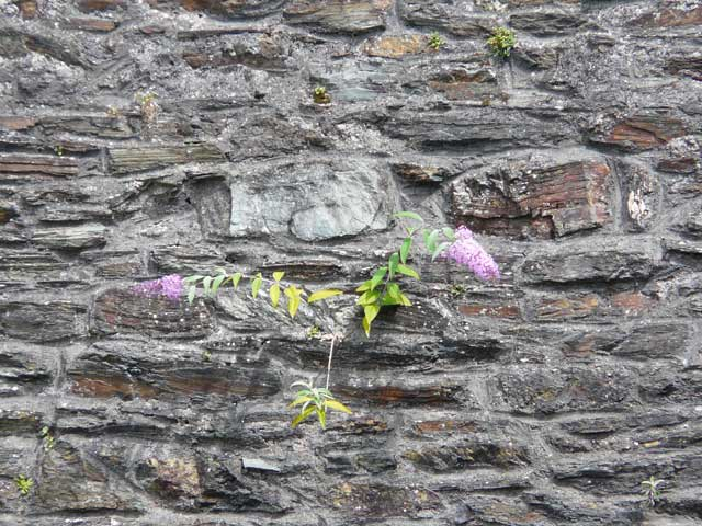 Buddleia_on_wall_Dublin