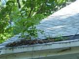 Black walnut (Juglans nigra) accumulating debris at the downspout end of a gutter.