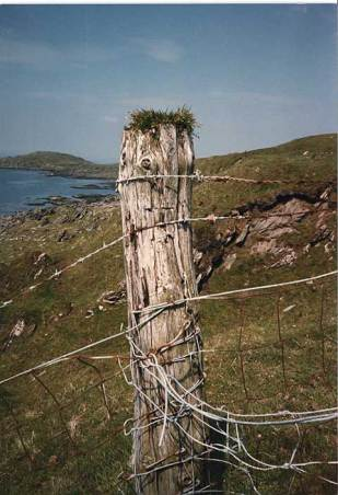 Plantago maritima on a fence post, Isle of Gigha, Scotland.