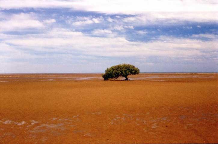 Avicennia marina at Port Hedland, WA