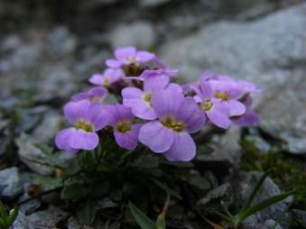 Alpine Arabidopsis arenosa (Romania). From Filip Kolar.