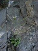 Arabidopsis arenosa on serpentine barren. From Filip Kolar