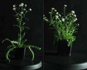 Common garden Arabidopsis arenosa. Left - from national park (no Zn), Right – from Zn waste heap. Photo from Ewa Maria Przedpełska-Wąsowicz