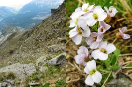 Alpine Arabidopsis arenosa on silicious bedrocks in Eastern Austria.