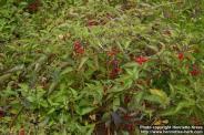Solanum dulcamara growing over other plants (Finland). Photo by Henrietta Kress