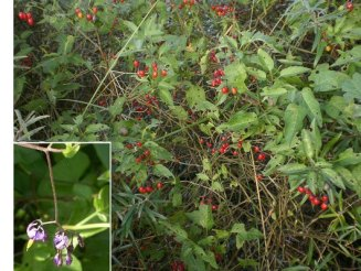 Solanum dulcamara growing over other plants (Netherlands). Photo by Roel Hoekstra, Crop Wild Relatives (CWR) in the Netherlands.