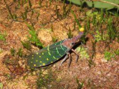 Curioso insecto, Borneo