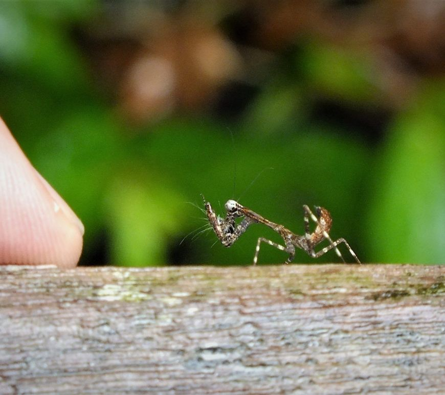 Insecto diminuto en Gunung Mulu, Malaysia