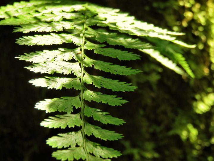 Fern leaf, Borneo