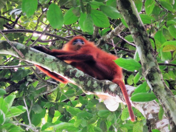 Presbytis rubicunda, Borneo
