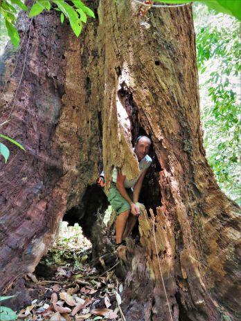 Árbol hueco, Borneo