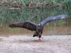 Águila puma