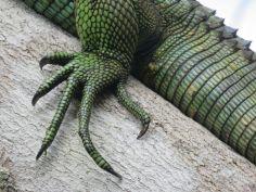Iguana -detalle-