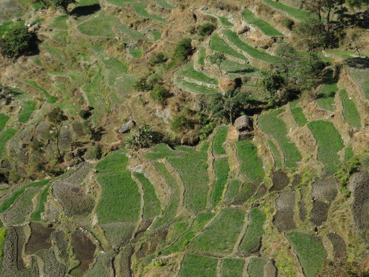 Campos de arroz y trigo, Nepal