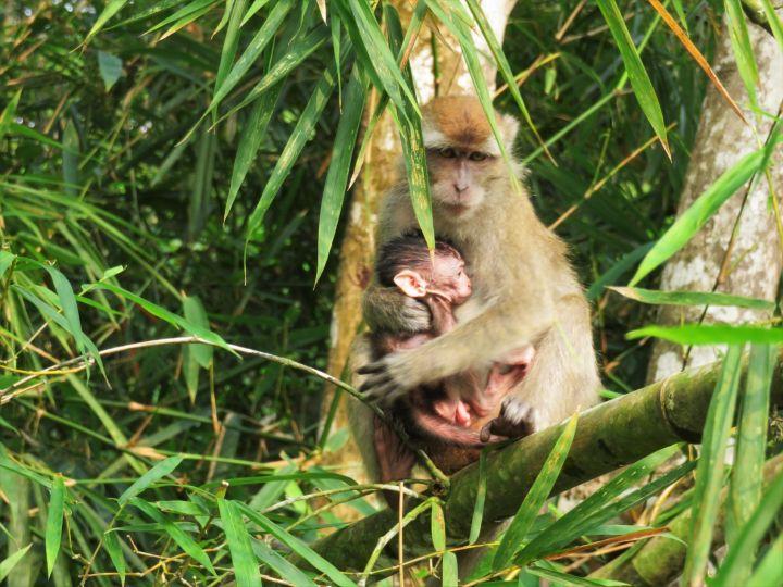 Monos en Bandar Seri Begawan
