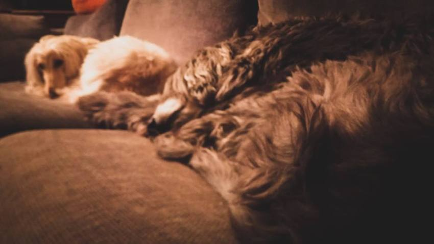 two afghan hounds sleeping on the couch