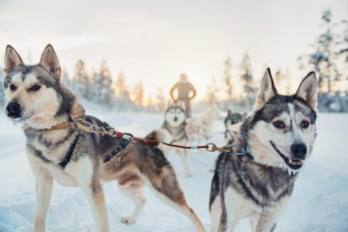 during-the-winter-guests-can-go-on-husky-safaris-and-reindeer-safaris
