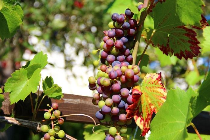 grapes-276068_1280