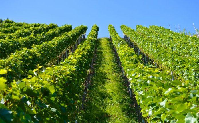 vineyard-1612092_1920