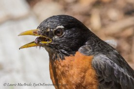 Robin with a worm and very dirty face