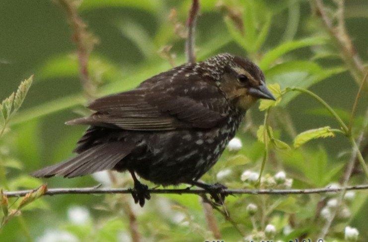 Red-winged Black Bird - Female