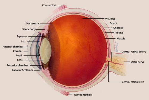 eye_with_detailed_labels