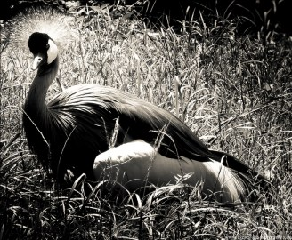 BW crowned crane