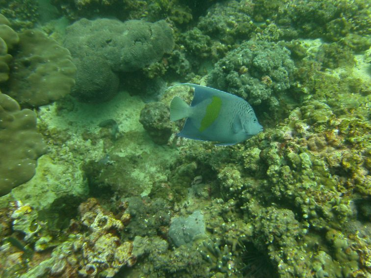 Yellow Bar Maculosus, Gulf of Oman