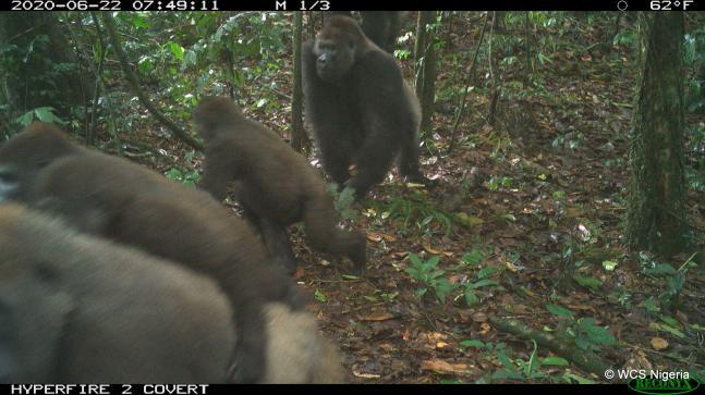 Cross River Silverback gorilla with family - WSC camera trap
