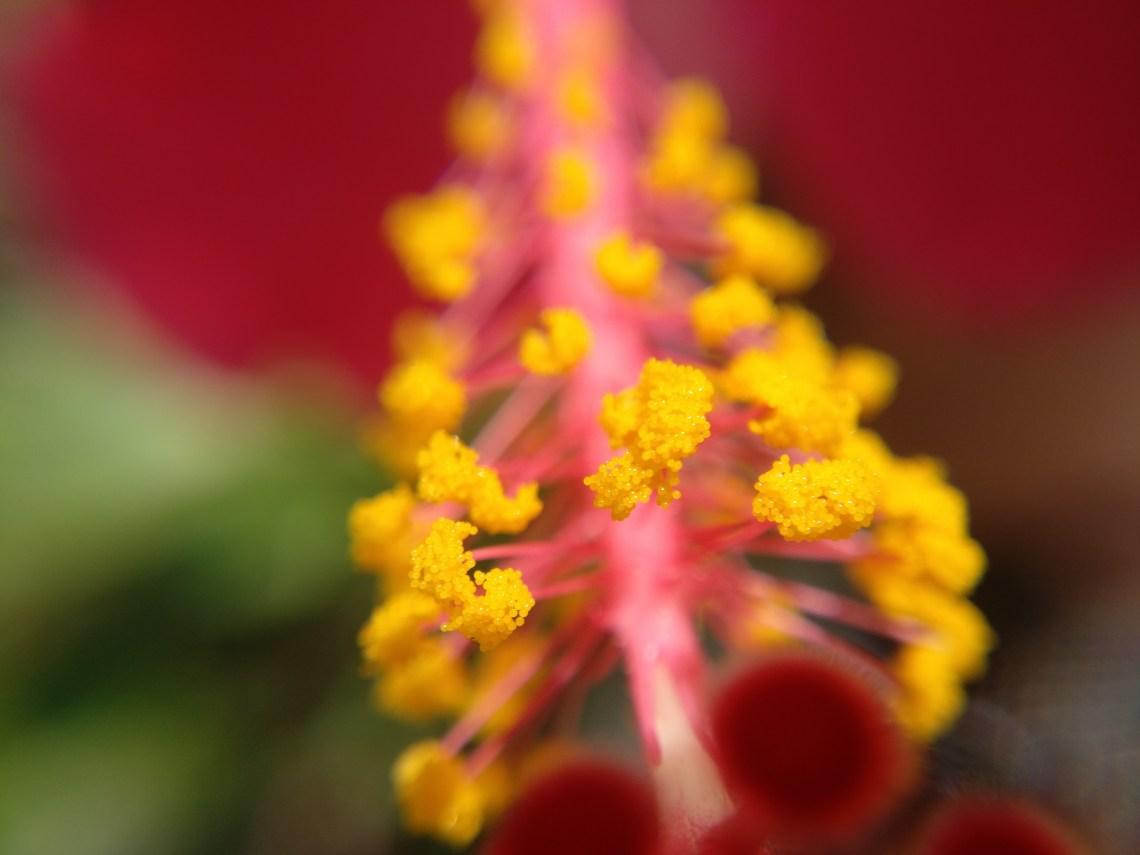BELUGA Hibiscus Rosa Sinensis