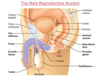 Male reproductive system's