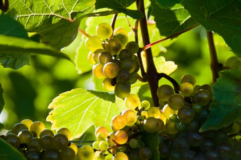 Sun shines through the grape leaves and grapes at the Grand Pre