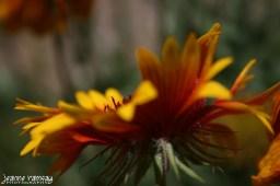 Painted daisy