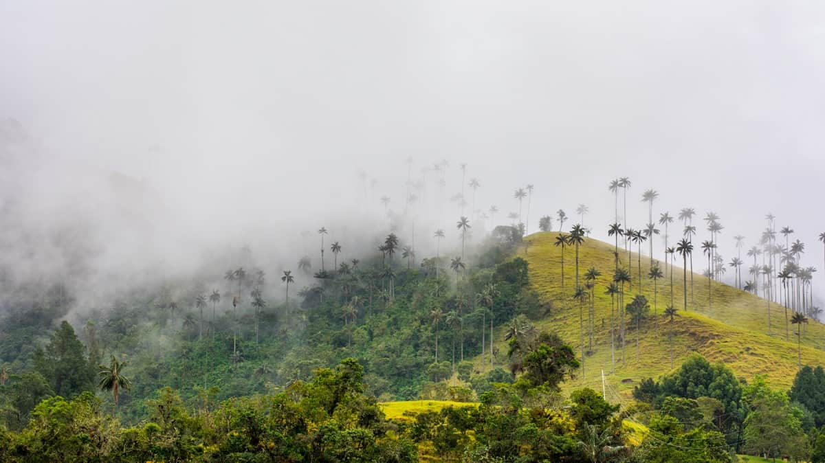 Valle De Cocora in Colombia's, Salento