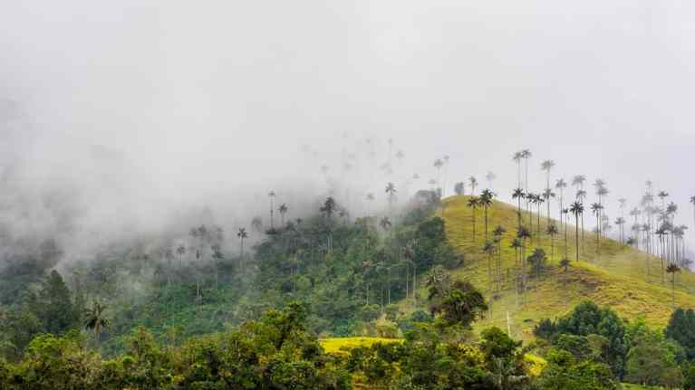 Valle De Cocora in Colombia's, Salento