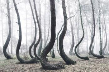 Кривой лес аномальное место Польше