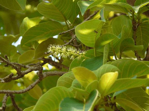 Terminalia chebula (миробалан хебула)Харитаки