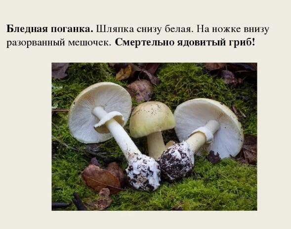Бледная поганка самый ядовитый гриб в мире