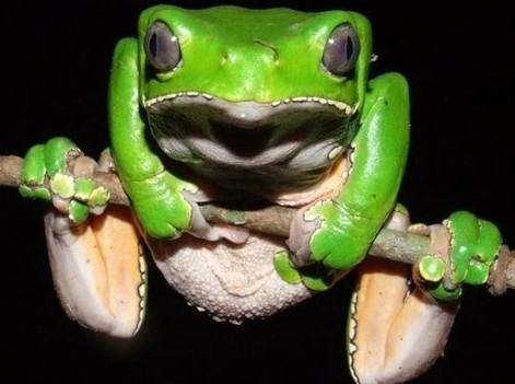 Камбо лягушка