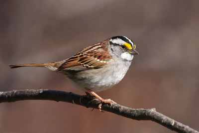 The White-throated Sparrow is one of the most commonly reported victims of window collisions