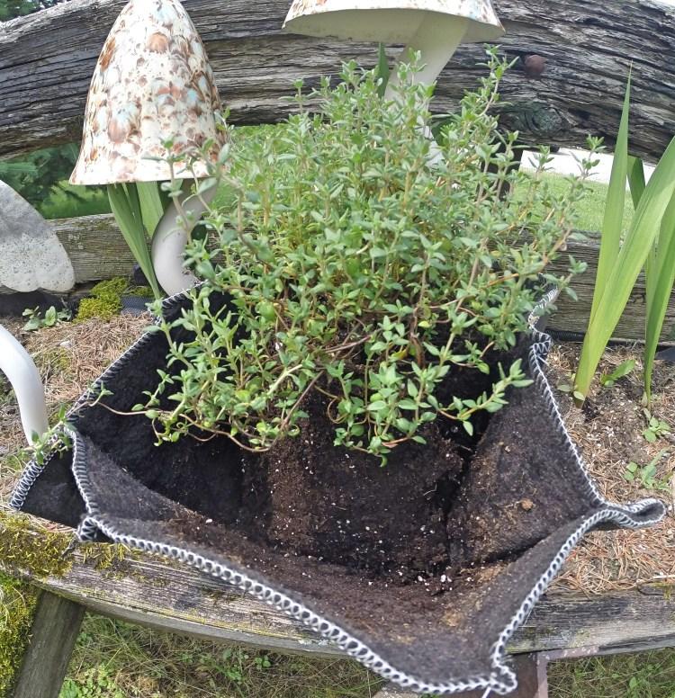 Lemon Thyme Ez Swap Pot