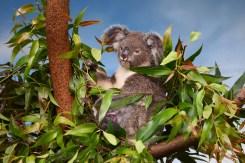Koala,On,A,Tree