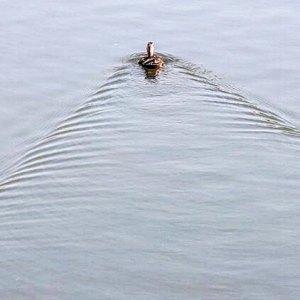 水面を進む鴨