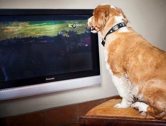 Cão assiste programa da DogTV